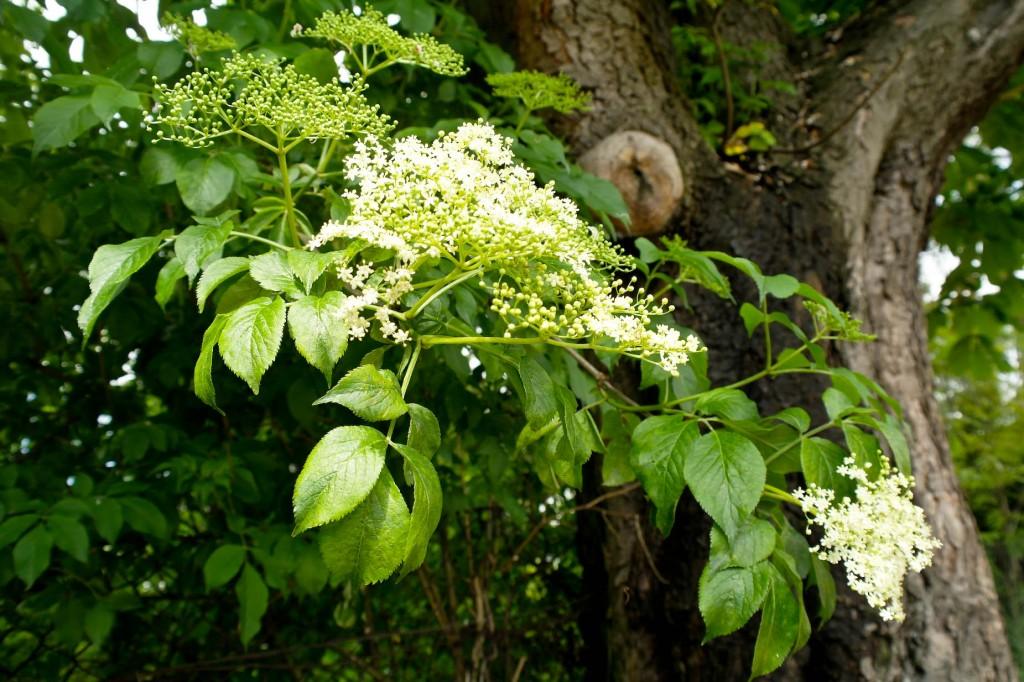 Kwiat bzu czarnego - doskonały na temperaturę, zawiera też rutynę