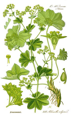 290px-Illustration_Alchemilla_vulgaris0_clean