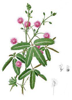 Wikipedia: Mimoza