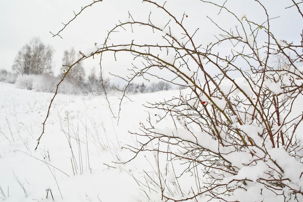 Dzika róża, inaczej szypszyna. Co roku wyjadają ją ptaki.