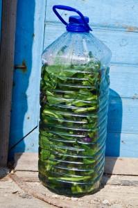 gnojówka żywokostowa