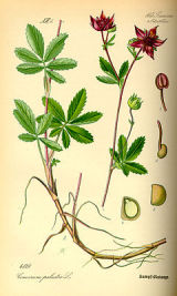 Illustration_Comarum_palustre0