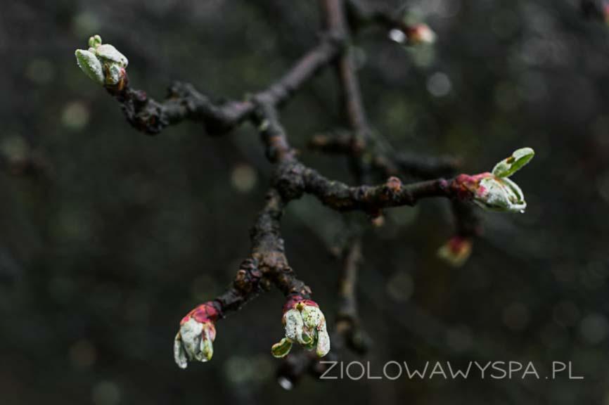 Pąki jabłoni, niedługo będzie można zbierać liście