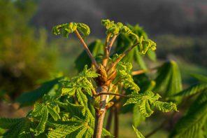 Kasztanowiec – kora i pąki
