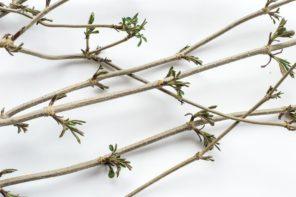 Kora i liście czarnego bzu na wirusa