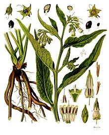 Symphytum_officinale_-_Köhler–s_Medizinal-Pflanzen-268