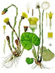 Tussilago_farfara_-_Köhler–s_Medizinal-Pflanzen-142