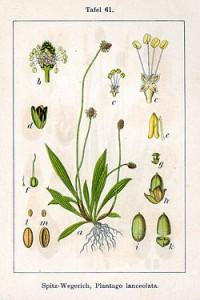 250px-Plantago_lanceolata_Sturm61