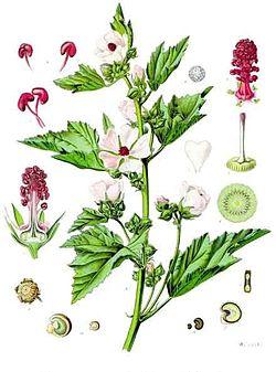 Althaea_officinalis_-_Köhler–s_Medizinal-Pflanzen-008