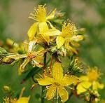 220px-Saint_johns_wart_flowers