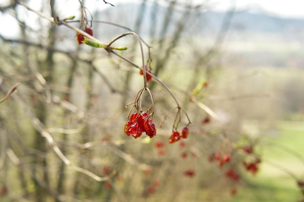 Owoców kaliny nie jedzą ptaki, długo więc zdobi krzewy.