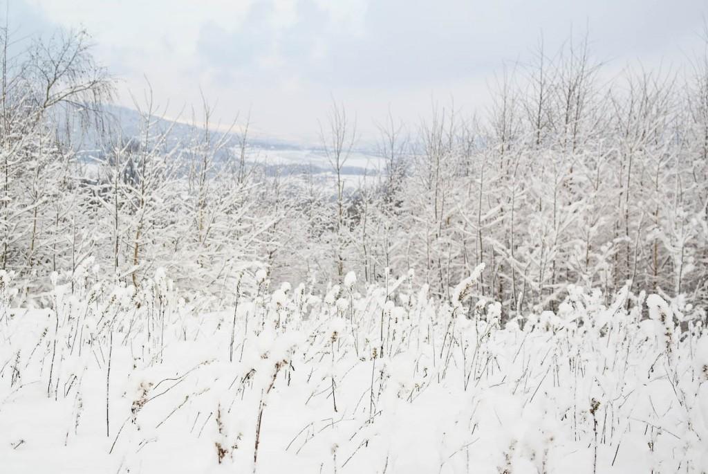 Lebiodka, tojeść, dzika mięta z czapeczkami śniegowymi.