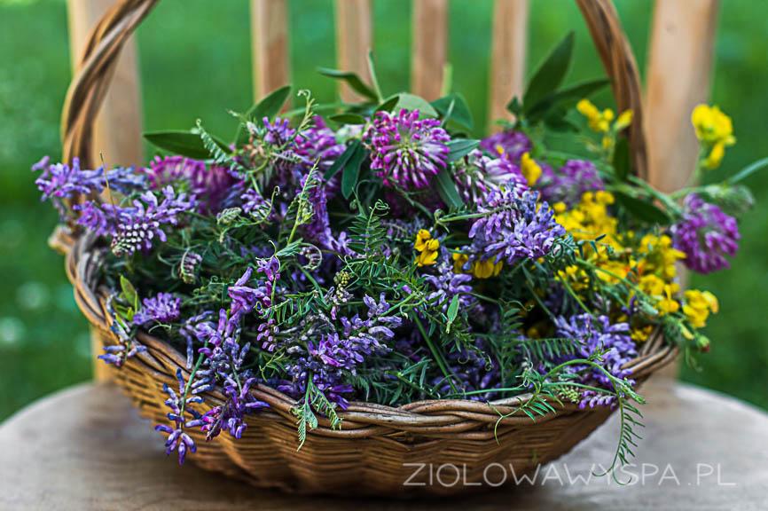 koniczyna, lucerna, komonica