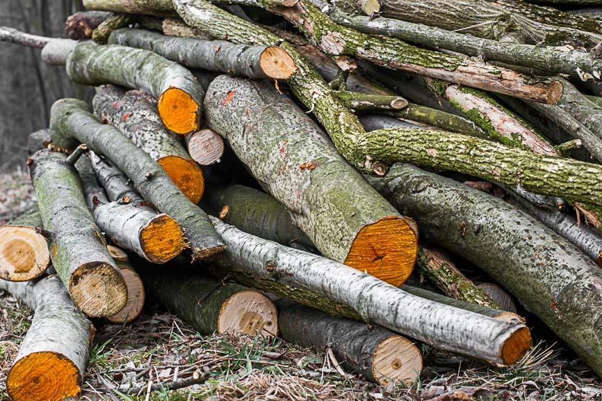 olcha pnie drzew