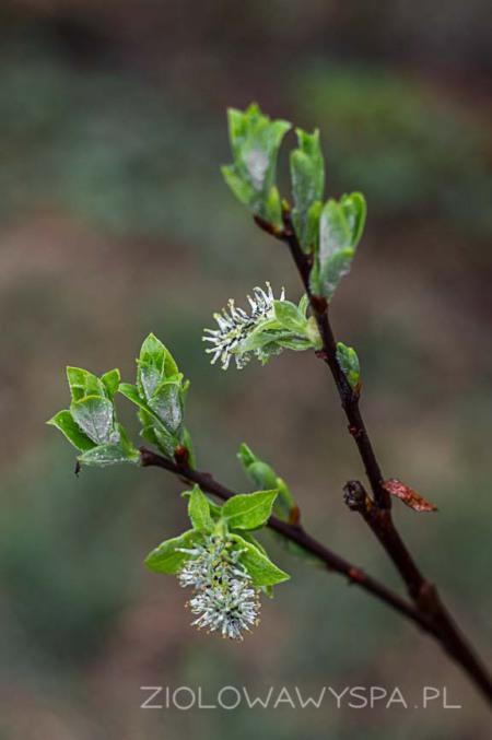 Gdy leszczyna wypuszcza liście to równocześnie jest to koniec jej kwiatów