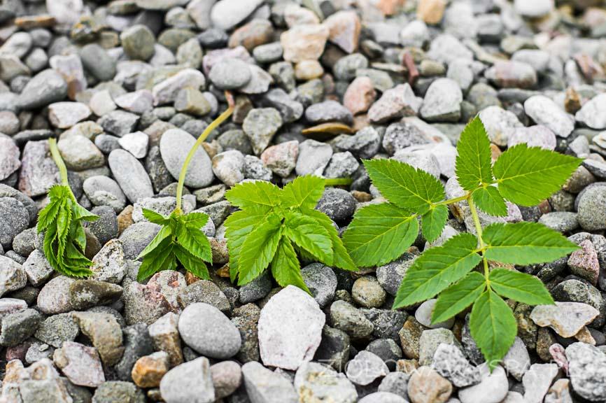 Różne fazy rozwoju liści podagrycznika.