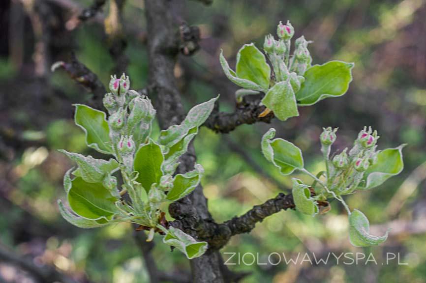 liście gruszy