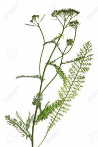 14272462-blooming-common-yarrow-Achillea-millefolium-against-a-white-background-Stock-Photo